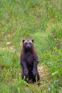 Wolverine (Gulo gulo) standing up on back legs. Lieksa, Finland. July. - Andy  Trowbridge