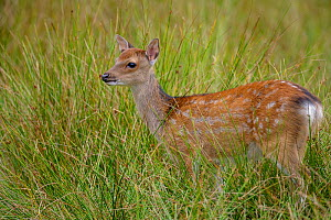 Sika deer (Cervus nippon) fawn, standing in marsh. Introduced Species. North Island, New Zealand. August. - Andy  Trowbridge