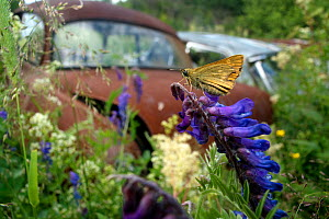 Skipper butterfly (Hesperiidae) in front of old rusting car in Bastnas car graveyard, Sweden, June. - Pal Hermansen
