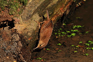 Wren (Troglodytes troglodytes) searching for insects at woodland pool. Warwickshire, UK, July.  -  Mike Wilkes