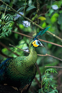 Green peafowl (Pavo muticus) portrait. Captive, occurs in Asia. Endangered species. - Roland  Seitre