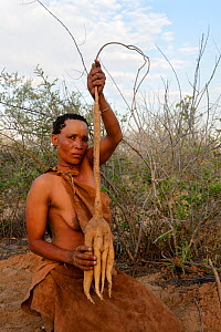 Naro San woman with the root of a kombrua plant which is thirst-quenching and nutritious. Kalahari, Ghanzi region, Botswana, Africa. Dry season, October 2014.  -  Eric Baccega