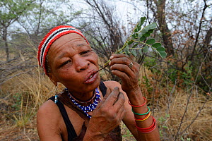 Naro San woman eating the root of a medicinal 'liver plant', Kalahari, Ghanzi region, Botswana, Africa. Dry season, October 2014. - Eric Baccega