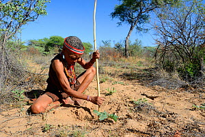 Naro San woman digging out the root of a medicinal 'liver plant', Kalahari, Ghanzi region, Botswana, Africa. Dry season, October 2014. - Eric Baccega