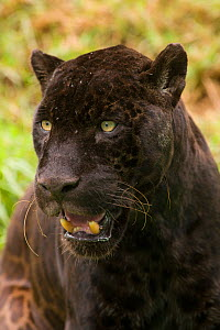 Melanistic Jaguar (Panthera onca) portrait with mouth open. Captive, occurs in Central and South America.  -  Roland  Seitre
