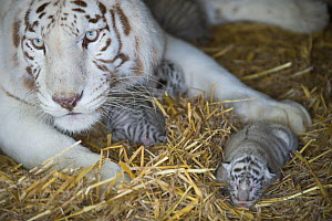 White Bengal tiger (Panthera tigris tigris) with cubs aged 5 days. Olmen zoo, Belgium. Captive, occurs in India, Bangladesh, Nepal and Bhutan. Endangered species. - Roland  Seitre