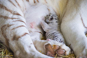 White Bengal tiger (Panthera tigris tigris) cub suckling, aged 5 days. Olmen zoo, Belgium. Captive, occurs in India, Bangladesh, Nepal and Bhutan. Endangered species. - Roland  Seitre