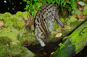 Fishing cat (Prionailurus viverrinus) dipping paw in water, Singapore Zoo, Singapore. Captive, occurs in Asia. Endangered species. - Roland  Seitre