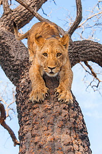 Young Lion (Panthera leo) in tree, Fathala Reserve, Senegal. Captive, occurs in sub-Saharan Africa, Vulnerable species.  -  Roland  Seitre