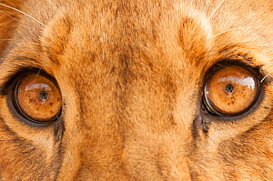 Close-up of Lion's eyes (Panthera leo) Fathala Reserve, Senegal. Captive, occurs in sub-Saharan Africa, Vulnerable species. - Roland  Seitre