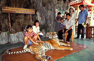 Tourists posing with chained Tiger (Panthera tigris) Thailand. Captive, occurs in Asia. Endangered species.  -  Roland  Seitre
