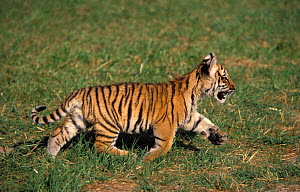 Bengal tiger (Panthera tigris tigris) cub running, aged 3 months. Captive, occurs in India, Bangladesh, Nepal and Bhutan. Endangered species. - Roland  Seitre