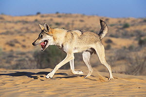 Arabian wolf (Canis lupus arabs) running. Captive, occurs in Israel, Iraq, Oman, Yemen, Jordan and Saudi Arabia. - Roland  Seitre