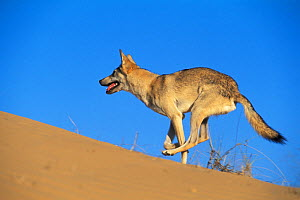 Arabian wolf (Canis lupus arabs) running over sand. Captive, occurs in Israel, Iraq, Oman, Yemen, Jordan and Saudi Arabia. - Roland  Seitre