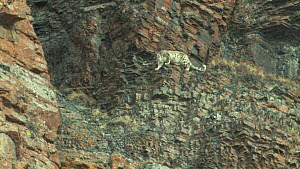 Wild Snow leopard (Uncia uncia) climbing among rocks on a mountainside, Altai Mountains, Mongolia, August.  -  Eric Dragesco