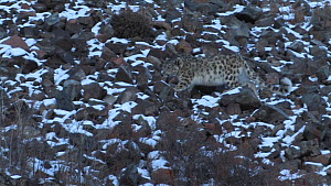 Wild Snow leopard (Uncia uncia) walking across a snow covered scree slope, Altai Mountains, Mongolia, February.  -  Eric Dragesco