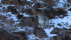 Wild Snow leopard (Uncia uncia) walking down a snow covered slope, Altai Mountains, Mongolia, February.  -  Eric Dragesco