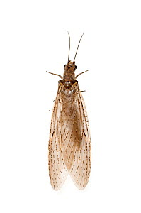 Eastern Dobsonfly (Corydalus cornutus) in bayou wetlands, Louisiana, United States, May. Meetyourneighbours.net project  -  MYN / Clay Bolt
