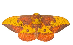 Imperial Moth (Eacles imperialis) Southern Appalachians, South Carolina, United States, June. Meetyourneighbours.net project - MYN / Clay Bolt