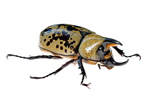 Eastern Hercules Beetle (Dynastes tityus) Southern Appalachians, South Carolina, United States, June. Meetyourneighbours.net project  -  MYN / Clay Bolt