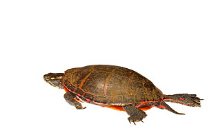 Painted Turtle (Chrysemys picta) Southern Appalachians, South Carolina, United States, April. Meetyourneighbours.net project - MYN / Clay Bolt
