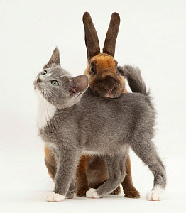 Blue and white Burmese-cross kitten rubbing against sooty-fawn dwarf Rex rabbit. NOT AVAILABLE FOR BOOK USE - Jane Burton