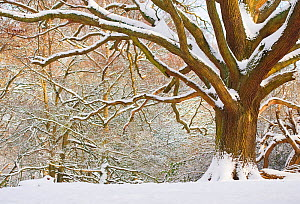 Oak tree (Quercus robur) in snow, Hampstead Heath, London, UK, January 2013.  -  Matthew Maran