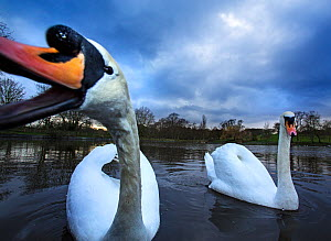 Mute swans (Cygnus olor) Highgate Ponds, Hampstead Heath, London, UK, February.  -  Matthew Maran