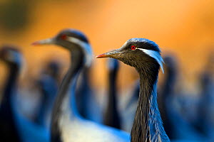 Demoiselle cranes (Anthropoides virgo) flock, India.  -  Axel  Gomille