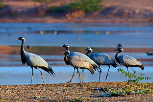 Demoiselle cranes (Anthropoides virgo) group of four at water's edge India. - Axel  Gomille