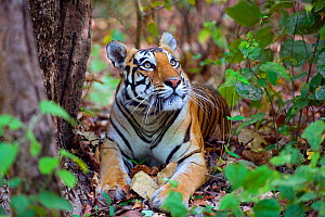 Bengal tiger (Panthera tigris tigris), female resting and looking up Kanha National Park, India.  -  Axel  Gomille