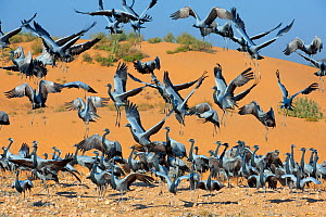 Demoiselle cranes (Anthropoides virgo) landing at wintering site, Thar desert,  Rajasthan, India.  -  Axel  Gomille