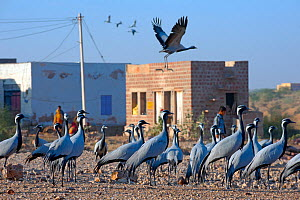 Demoiselle cranes (Anthropoides virgo) resting in village, Rajasthan, India. February 2012.  -  Axel  Gomille