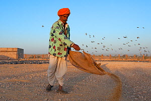 Villager putting food out for Demoiselle cranes with pigeons arriving first. Rajasthan, India. February 2012.  -  Axel  Gomille