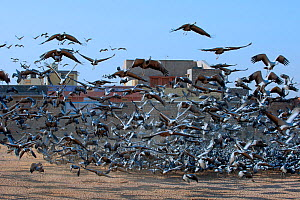 Demoiselle Crane (Anthropoides virgo), these migrant birds are considered holy and are being fed by villagers, Rajasthan, India, February 2012.  -  Axel  Gomille