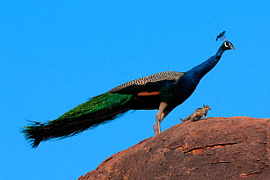 Peacock (Pavo cristatus) on rock with Palm Squirrel (Funambulus sp) India. - Axel  Gomille