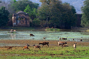 Sambar deer (Cervus unicolor), Spotted deer (Axis axis), Wild boar (Sus scrofa) and various birds feeding, with Rajbagh Palace in the background, Ranthambhore National Park, India. April 2010. - Axel  Gomille