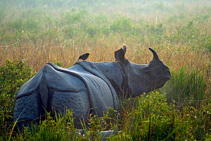 Indian rhinoceros (Rhinoceros unicornis) with Jungle myna (Acridotheres fuscus) riding on its back, Kaziranga National Park, India.  -  Axel  Gomille