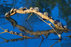 Assam roofed turtle (Kachuga sylhetensis) fourteen basking on log, Kaziranga National Park, Assam, India. Endangered species.  -  Axel  Gomille