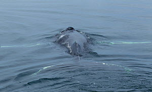 Humpback whale (Megaptera novaeangliae) close to surface with flukes and flippers visible. Inside Passage, Frederick Sound, Alaska, USA, August.  -  Charlie  Summers