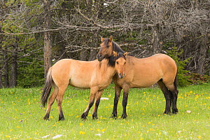 Wild horse (Equus ferus) mare and yearling. The yearling has leg bars or 'tiger stripes', a primitive marking indicating ties to earliest mustangs brought to the USA by the Spanish. Pryor Mountains, M... - Charlie  Summers