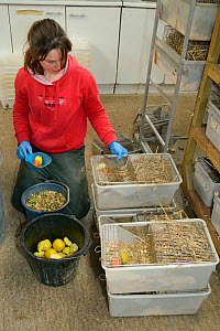 Dani Siddall feeding Water voles (Arvicola amphibius) with apples, carrots and grain before their release into the wild during reintroduction project, Derek Gow Consultancy, near Lifton, Devon, UK, Ma... - Nick Upton