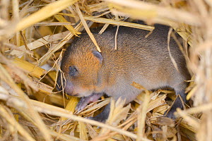 Baby Water vole (Arvicola amphibius) with its eyes still closed in nest within straw bale in breeding cage, part of breeding programme to supply reintroduction projects, Derek Gow Consultancy, near Li...  -  Nick Upton