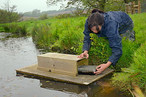 Rebecca Northey of Derek Gow Consultancy checking clay tray on floating raft tethered to the bank of pond for footprints of American mink (Mustela vison), a predator of Water voles (Arvicola amphibius...  -  Nick Upton