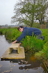 Rebecca Northey of Derek Gow Consultancy checking clay tray on floating raft tethered to the bank of pond for footprints of American mink (Mustela vison), major predator of Water voles (Arvicola amphi...  -  Nick Upton