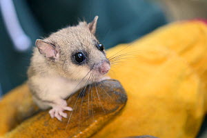 Close up of an adult Edible / Fat Dormouse (Glis glis) held in a leather glove during a monitoring project in woodland where this European species has become naturalised, Buckinghamshire, UK, August,... - Nick Upton