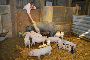 Veterinarian Dewi Jones inspecting a British Saddleback sow and her litter of piglets in a barn, Gloucestershire, UK, September 2014. Model released.  -  Nick Upton