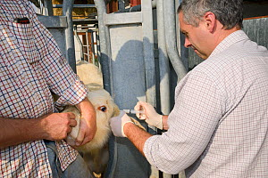 Veterinarian Dewi Jones injecting antibiotics into the ear of a Charolais calf held still in a crush by a farmer, Wiltshire, UK, September 2014.   Model released.  -  Nick Upton
