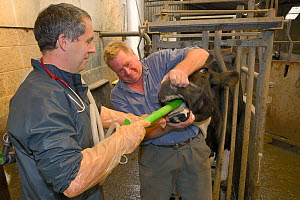 Veterinarian Dewi Jones inserting a tube into the stomach of a sick Holstein Friesian cow (Bos taurus) held by a farmer, ahead of pumping coffee in to purge blockage, Gloucestershire, UK, September 20...  -  Nick Upton