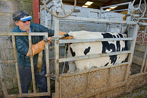 Veterinarian Dewi Jones using an ultrasound scanner to look for a foetus inside a Holstein Friesian cow (Bos taurus) held in a crush, with the image projected onto goggles in front of his eyes, Wiltsh...  -  Nick Upton